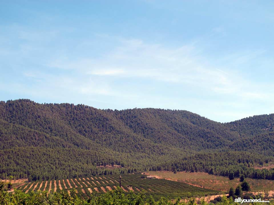 Picking in Sierra de Burete, between Cehegín and Bullas