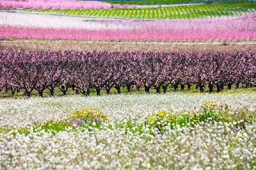 La Floración de Cieza