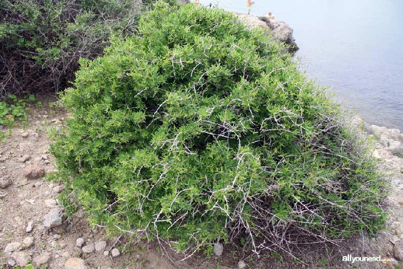 Isla del Ciervo en el Mar Menor. Cornicales