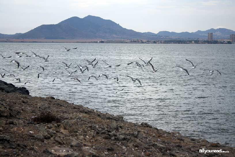 Isla del Ciervo en el Mar Menor. Gaviotas