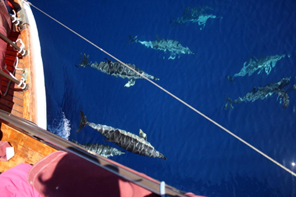 Cetaceans and Sailing