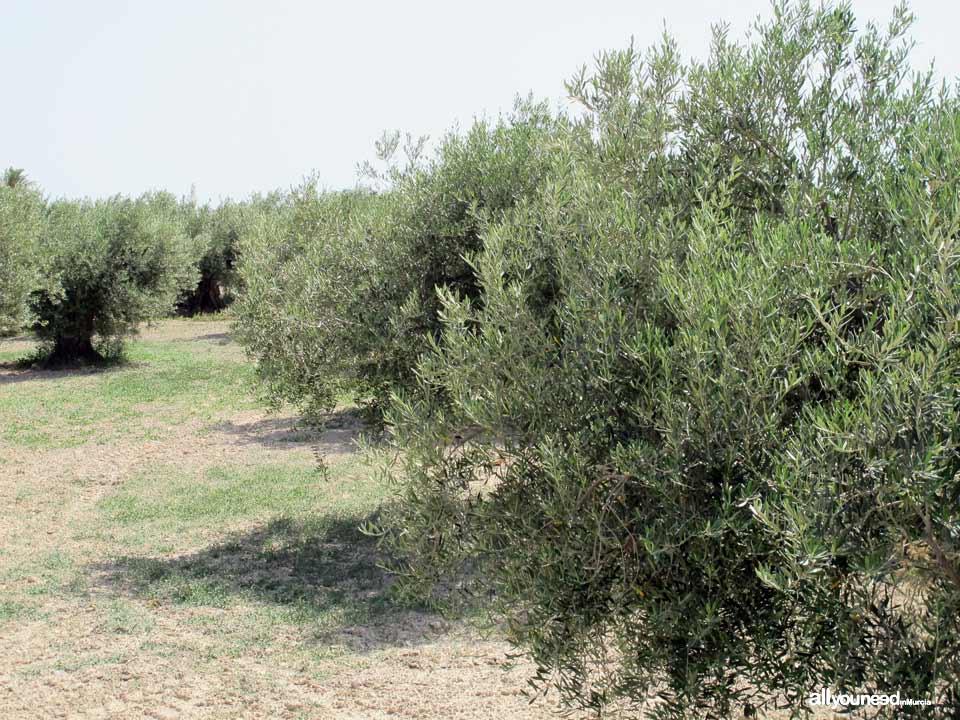 El Olivar de Abanilla